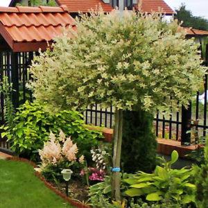 Растения на штамбе