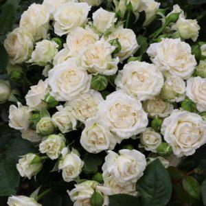 Почво-покровные розы